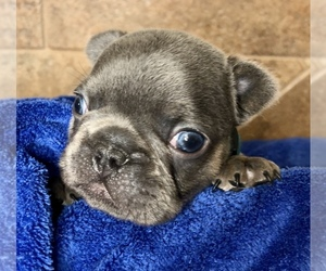 French Bulldog Puppy for sale in BUCKS BAR, CA, USA