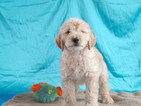 Golden Retriever Puppy For Sale in CUYAHOGA FALLS, Ohio,