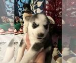 Small #21 Siberian Husky