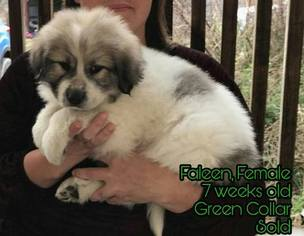 Great Pyrenees Puppy For Sale in CROCKER, MO, USA