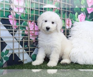 Bernedoodle Puppy for sale in MARIETTA, GA, USA