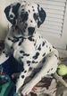 Dalmatian Puppy For Sale in ORLANDO, FL, USA