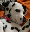 Dalmatian Puppy For Sale in CONNELLYS SPRINGS, NC, USA