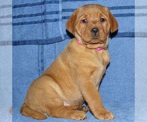 Labrador Retriever Puppy for sale in MIFFLINBURG, PA, USA