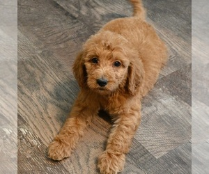 Goldendoodle Puppy for Sale in BLMGTN, Indiana USA