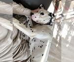 Small #6 Dalmatian