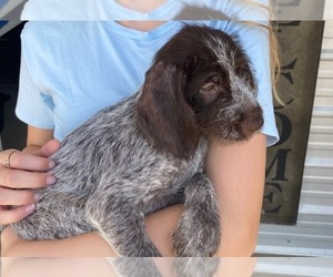 German Wirehaired Pointer Puppy for Sale in JACKSONVILLE, Florida USA