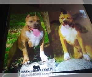 American Staffordshire Terrier Puppy for sale in SUMMERDALE, AL, USA