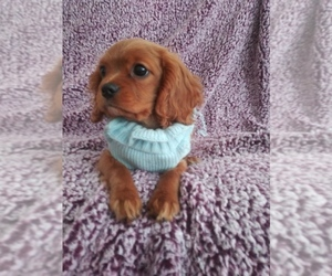 Cavalier King Charles Spaniel Puppy for Sale in HOWLAND, Ohio USA