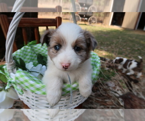 Australian Shepherd Puppy for sale in SOUTH HAVEN, MI, USA