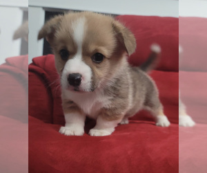 Pembroke Welsh Corgi Puppy for Sale in GOOSE CREEK, South Carolina USA