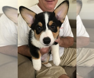 Pembroke Welsh Corgi Puppy for Sale in SPRINGTOWN, Texas USA