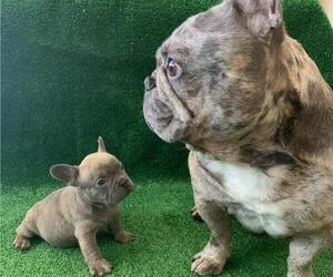 French Bulldog Puppy for sale in N LAS VEGAS, NV, USA