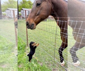 Rottweiler Puppy for sale in AZLE, TX, USA