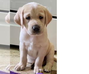 Golden Labrador Puppy for Sale in BUENA PARK, California USA