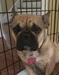 French Bulldog Puppy For Sale in SOPERTON, GA,