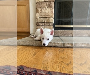 Siberian Husky Puppy for Sale in IRVINE, California USA