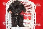 Poodle (Toy) Puppy For Sale in SANGER, TX, USA