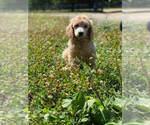 Puppy 0 Poodle (Standard)
