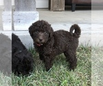 Small #16 Labradoodle