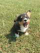 Pembroke Welsh Corgi Puppy For Sale in HOUSTON, Texas,