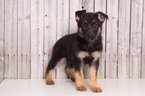 German Shepherd Dog Puppy For Sale in MOUNT VERNON, OH