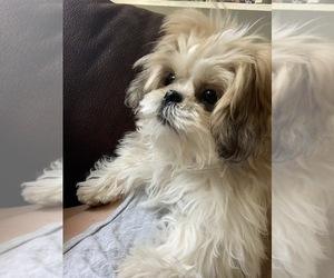 Puppyfinder Com Shih Tzu Puppies Puppies For Sale Near Me In New