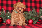Poodle (Toy) Puppy For Sale in GRAY, LA, USA