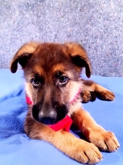 German Shepherd Dog Puppy For Sale in LOUISBURG, NC, USA