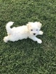Havanese Puppy For Sale in THOMASVILLE, NC, USA