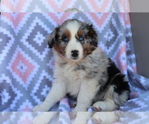 Australian Shepherd Puppy for sale in SHILOH, OH, USA