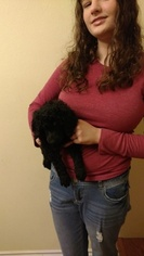 Poodle (Standard) Puppy For Sale in TACOMA, WA, USA