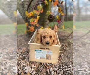 Goldendoodle Puppy for sale in NORWOOD, MO, USA