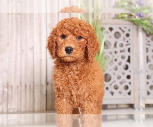 Poodle (Standard) Puppy for sale in MOUNT VERNON, OH, USA