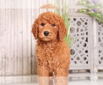 Duncan Handsome AKC Poodle