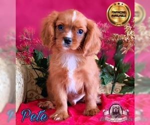 Cavalier King Charles Spaniel Puppy for Sale in MIAMI, Florida USA