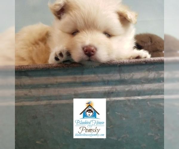 PuppyFinder com - View Ad: Photo #18 of Listing Pomeranian