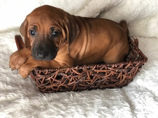 Rhodesian Ridgeback Puppy For Sale in FORT WORTH, TX, USA