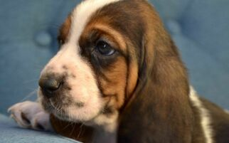 Basset Hound Puppy for sale in PLACENTIA, CA, USA