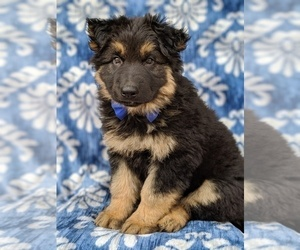 German Shepherd Dog Puppy for Sale in LANCASTER, Pennsylvania USA