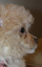 Maltese-Poodle (Toy) Mix Puppy for sale in LEBANON, OR, USA