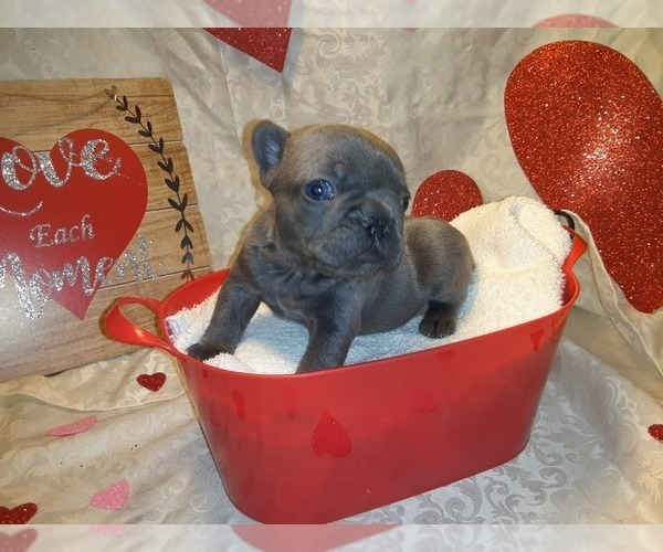 Medium Photo #2 French Bulldog Puppy For Sale in PAWTUCKET, RI, USA