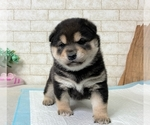 Small #9 Shiba Inu
