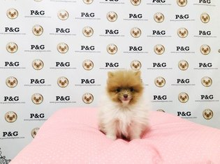 Pomeranian Puppy For Sale in TEMPLE CITY, CA, USA