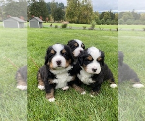 Bernese Mountain Dog Puppy for sale in SPRINGFIELD, OR, USA