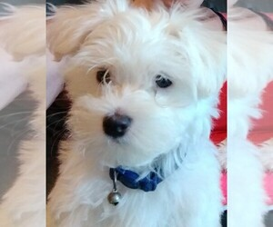 Maltese Puppy for sale in BOURBON, IN, USA