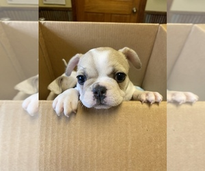 French Bulldog Puppy for sale in STOVER, MO, USA