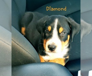 Greater Swiss Mountain Dog Puppy for Sale in HOLBROOK, Massachusetts USA