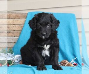 Australian Shepherd-Goldendoodle Mix Puppy for sale in HOLTWOOD, PA, USA