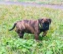 AKC Bullmastiff Pups